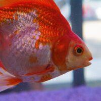 金魚の生産が盛んな弥富市で探偵が浮気調査